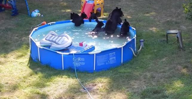 Bears cool off in new jersey family 39 s backyard pool video canada journal news of the world for Bears in swimming pool new jersey