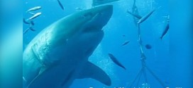 Great White Shark Deep Blue Caught On Camera 'Video'