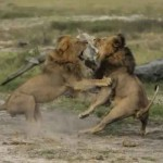 Jericho The Lion : Officials say Cecil's 'brother' killed by hunters, but researcher claims he's 'alive as far as I can tell'