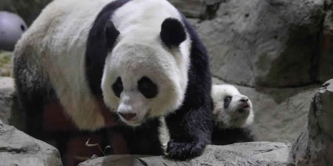 Mei Xiang : National Zoo's Giant Panda Gives Birth to Second Cub 'Video'