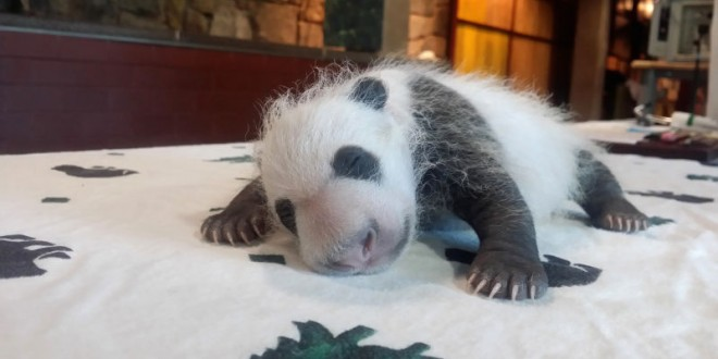 """Bei Bei: Michelle Obama and China's First Lady Named a Panda Cub """"Video"""""""
