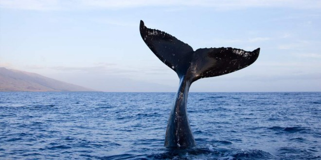 Researchers glean social insights from sperm whale dialects