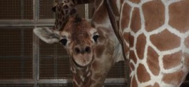 Baby giraffe dies in tragic accident at Chaffee Zoo (Report)