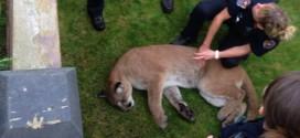 Cougar tranquilized near BC Legislature in Victoria (Video)