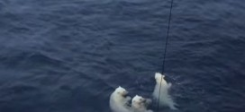 Curious swimming polar bears make Canadian scientists anxious (Video)
