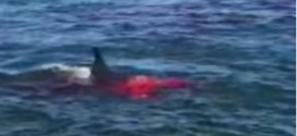 Great White Shark spotted at Alcatraz Island, preys on seal (Video)