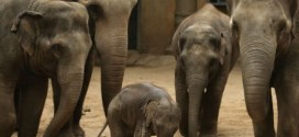Elephants avoided extinction by evolving cancer-proof genes, Study