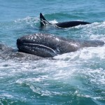Stay away from English Bay grey whale, Warn Department of Fisheries and Oceans