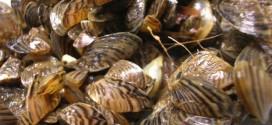 Zebra mussels increasing in Manitoba, Report