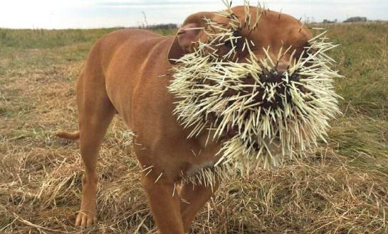 Porcupine attacks three dogs in Saskatchewan (Photo)