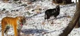 "Goat Befriends Tiger at Russian safari park ""Video"""