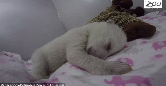 "Bear Cub Sleeps With Toy: The cutest video you will see all day ""Watch"""