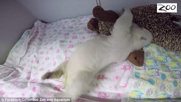 Bear Cub Sleeps With Toy: The cutest video you will see all day