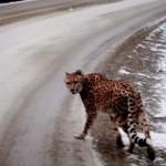 Cheetah on the loose in the Kootenays: RCMP
