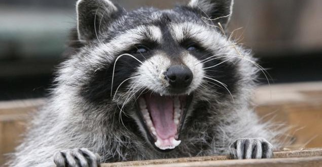 Raccoon in Hamilton tests positive for rabies, Report