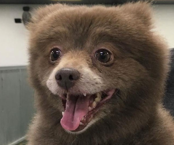 What Are The Small Dogs That Look Like Bears