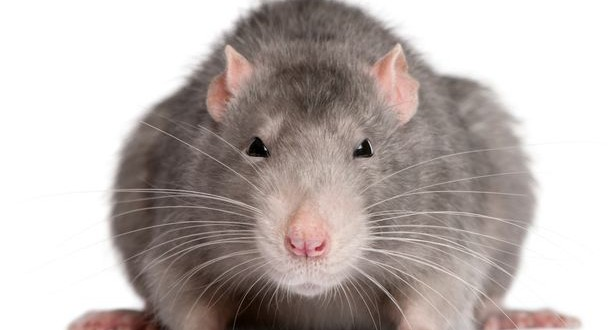 Tiny rat casino sheds light on gambling addiction, new study says
