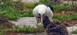 Albatross Wisdom Hatches 40th Chick In Hawaii Nesting Colony, Even At Age 65