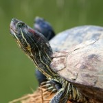 Canadian Man Who Smuggled 38 Turtles in His Pants Banned From Owning Them