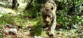 El Jefe: Jaguar in America caught on camera in Arizona (Video)