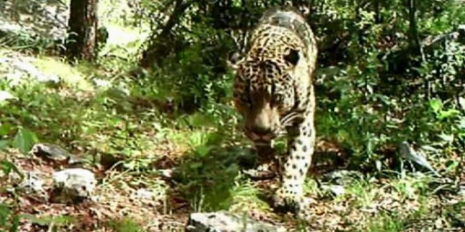 El Jefe: Jaguar in America caught on camera in Arizona (Video)