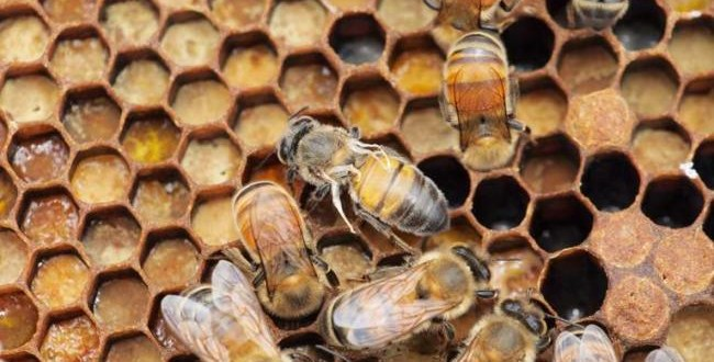 European Honeybee: Virus Is Spreading and Only Humans Can Stop It