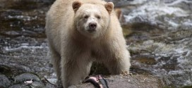Most of British Columbia Great Bear Rainforest protected