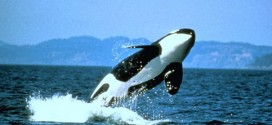 Ship noise poses threat to endangered killer whales, new study says