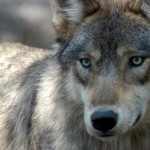 Wolf hunt moves to Northeast British Columbia