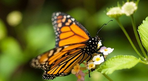 Monarch butterfly numbers on the rise over winter, researchers say
