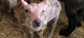 "Lamb Born Without Fleece Gets Man-Made Sweater ""Photo"""
