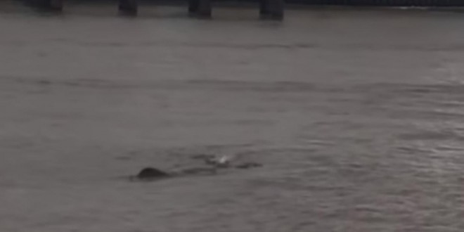 River Thames Monster: 'Nessie' creature filmed in London Again (Video)