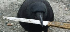 "Canuck, The Crow Steals Knife from Vancouver crime scene ""Photo"""