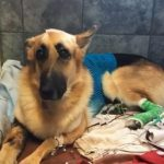 German Shepherd Gets Bitten By Rattlesnake To Save His Little Girl