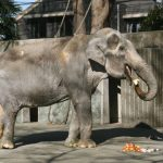 Lonely Thai elephant, Hanako dies at age 69