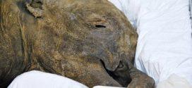 Meet 40,000-year-old baby mammoth Lyuba at the Royal BC Museum