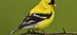 Over a third of North American bird species in danger, Report