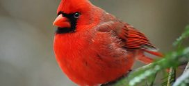 Researchers uncover 'gene-coded enzyme' responsible for red in birds