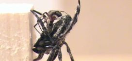 Spider behaviors include oral sexual encounters, says new study