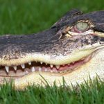Two alligators found eating dead human body in US