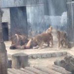Two lions killed in Chile zoo as they maul naked suicidal man (Video)
