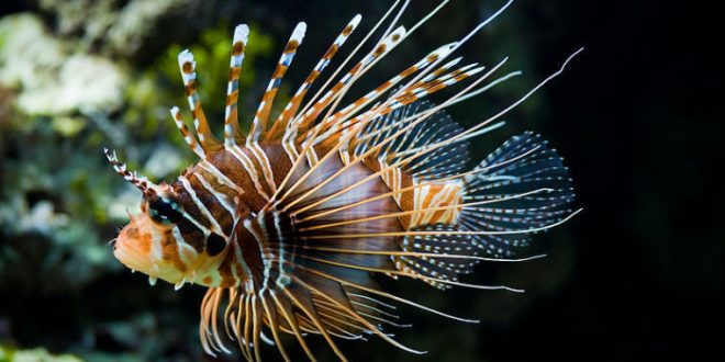 Whole Foods Selling Lionfish in Florida stores, sans venom