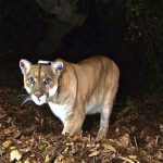 Boy, five, mauled by mountain lion