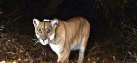 Boy, five, mauled by mountain lion
