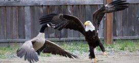 Eagle and Canada goose battle caught on camera (Photo)