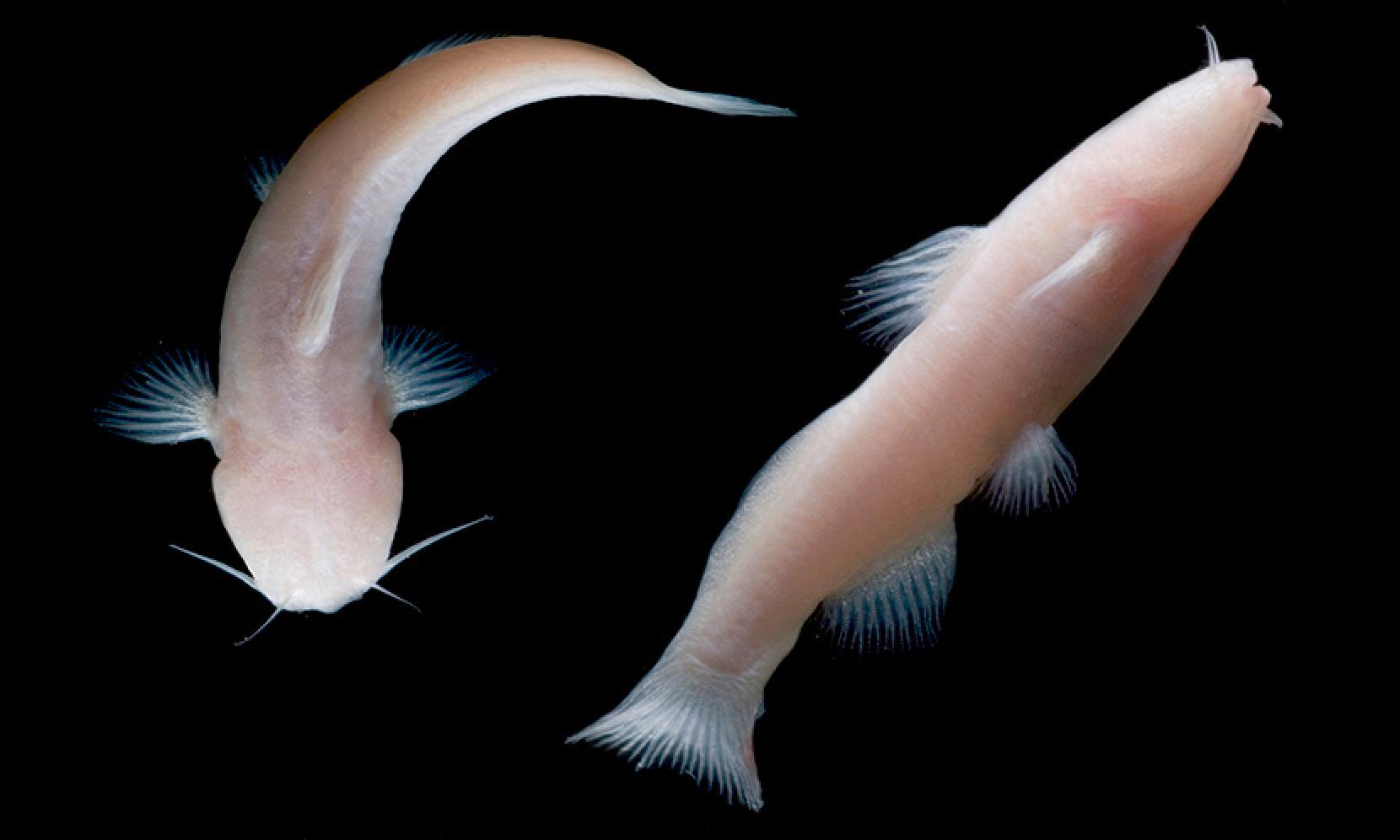 Eyeless Catfish From Mexico Found In Texas Cave Photo