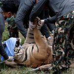 Forty dead tiger cubs found in freezer at Thai temple