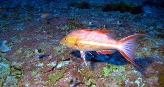 Scientists discover three new species of fish off hawaii for Types of fish in hawaii