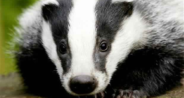Badgers Are More Scared of the BBC Than Bears, researchers Say