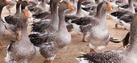 Bird Flu Detected At Ontario Duck Farm: CFIA
